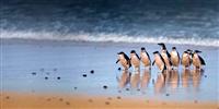 penguine-parade